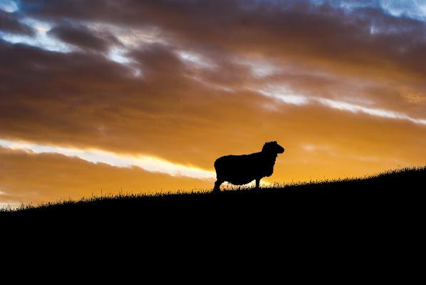 Riflessioni di una pecora al tramonto