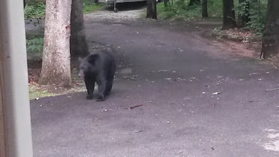 Photo: One of many bears who were seen wandering around my parents' house.