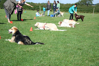 Photo: 1 minute stay at the 5 meter distance. Gretl Golden X, Oscar Golden, Lotti Spinone, Pringle Lab, Fate Lab