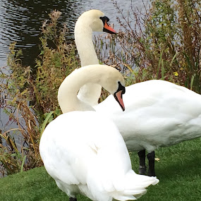 Swan pair by Annie Cator - Animals Birds ( swans, bletchley park, pair, swan, lake )
