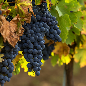 Grapes for red wine by Viorel Stanciu - Nature Up Close Gardens & Produce ( vineyard, viticulture, romania, leaf, landscape, farm, nature, fresh, autumn, grapes, bunch, closeup, fruit, purple, grass, green, vine, agriculture, row, rural, red, season, color, blue, food, grow, background, ripe, branch, summer, healthy, harvest, natural,  )