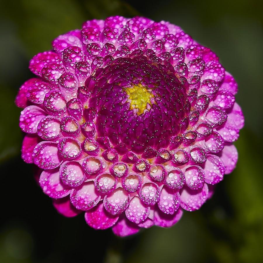 Dahlia 8634~ by Raphael RaCcoon - Flowers Single Flower