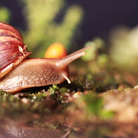 Moving Along by Anis Ghazalli - Animals Other ( reflection, snail, garden )