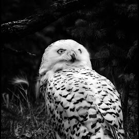 Snowy Owls by Dave Lipchen - Black & White Animals ( snowy owls )