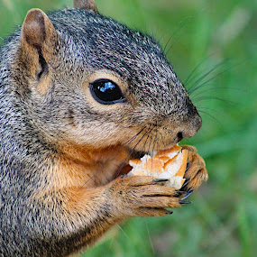 Squirrel eating by Amelia Rice - Animals Other ( nature, squirrels, eating, outside, animal,  )