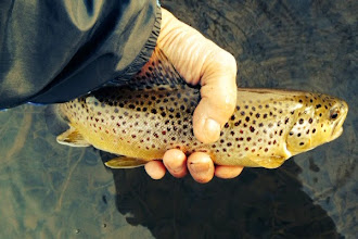 Photo: From our own back yard. Frequent contributor Joe Olivas sent us this brownie caught in the upper Mad River over the weekend.