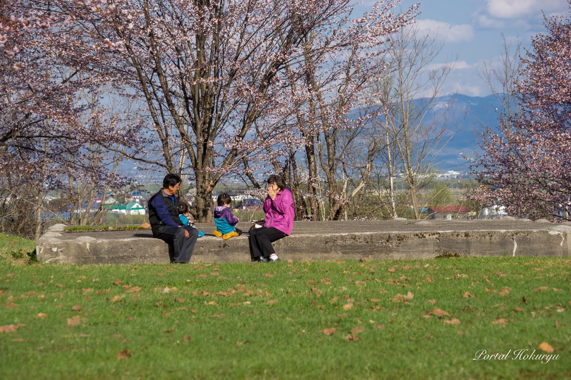 桜のお花見散歩