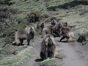 Photo: Gelada blocking the path in Simien Mountains National Park