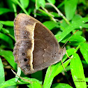 TAMIL BUSHBROWN
