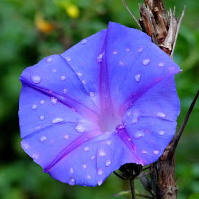 bluish droplets by Ashwanth Achu - Nature Up Close Flowers - 2011-2013