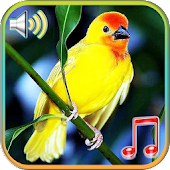 Birds Sounds Ringtones & Wallpapers
