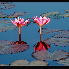 Lotus by Dilip Bhalerao - Flowers Flowers in the Wild