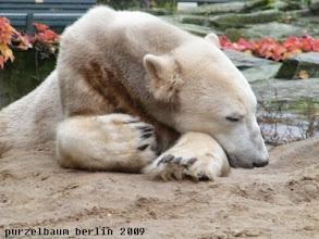 Photo: Knut goennt sich ein Nickerchen ;-)