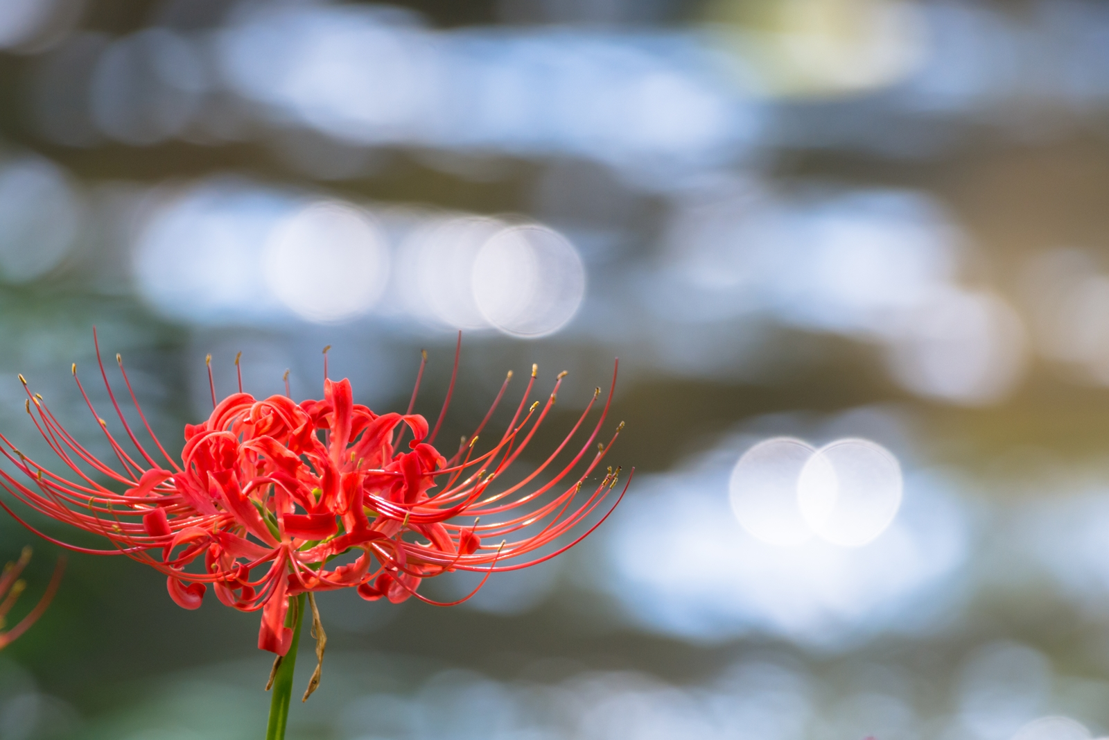 Photo: 流れをそっと見送る Watch the flow of time.  きらりきらり輝き そして流れていく 今年も気付くとそこに佇み そっと光を見送っている  Photo of red spider lily. (二ヶ領の彼岸花)  #flower #nature #cooljapan #nikon #sigma  Nikon D7200 SIGMA 150-600mm F5-6.3 DG OS HSM Contemporary