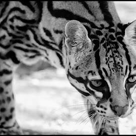 Ocelot by Dave Lipchen - Black & White Animals ( ocelot )