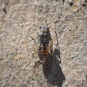 European cicadas