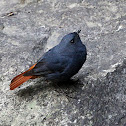 Plumbeous Water Redstart Male