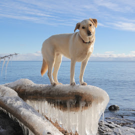 Betsy on Superior Ice by Sandra Updyke - Animals - Dogs Portraits ( winter, dogs, ice, icicles, betsy, lake superior )
