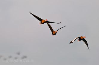 Photo: Black-bellied whistling ducks