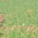 Courser  -  Indian Courser