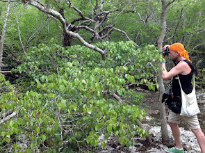 Photo: Ben Illis, wildlife photographer and journalist,  photographing a free roaming Blue Iguana (extreme left) on Manchineel  in the Queen Elizabeth II Botanic Park. Photo: Ann Stafford, Aug.18, 2013. http://www.benillis.com/cayman-2013.html