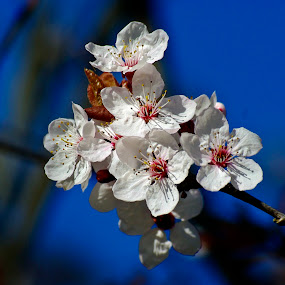 Whites  by Ciprian Apetrei - Flowers Tree Blossoms ( spring, flowers, white, tree blossoms, brittany )