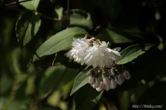 Photo: これは通称「卯の花」とよばれ夏の到来を告げる花でもある。(2014,05,18)