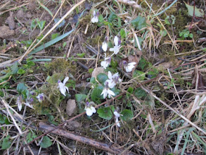 Photo: White sweet violets March 2015 © Pauline Popely 2015