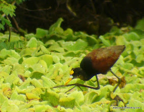 Photo: Northern Jacana; Chacalilla