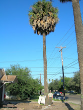 Photo: We started by tracking down the national co-champion Texas Sabal Palm (Sabal mexicana), just a short drive down 6th St. in Weslaco...