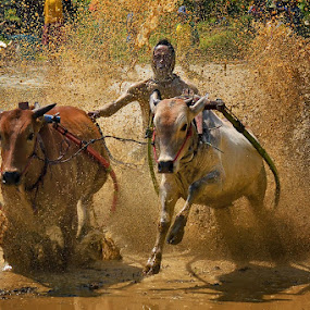 Flying... by Achmad Tibyani - Sports & Fitness Other Sports ( bull race, tanah datar, fly, pacu jawi, west sumatera )