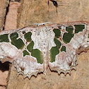 Green-slice Scopula moth