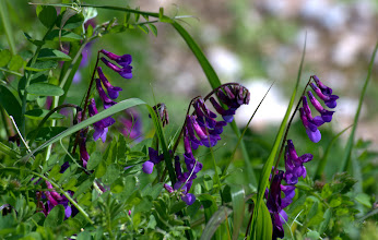 Photo: Vicia  villosa Roth