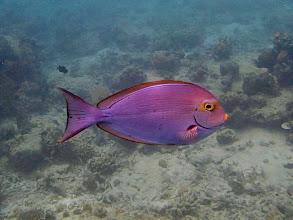 Photo: Acanthurus mata (Yellowmask Surgeonfish), Entatula Island Beach Club reef, Palawan, Philippines.