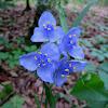 Ohio Spiderwort (Bluejacket)