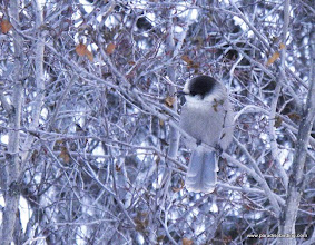 Photo: Gray Jay in the boreal forest habitat above Homer