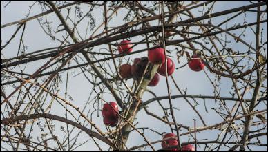 "Photo: Măr  (Malus) - ""mere pentru porumbei""  (vorba lui Edith Klaubert) - de pe Str. Nicolae Vladutiu - 2017.12.11"