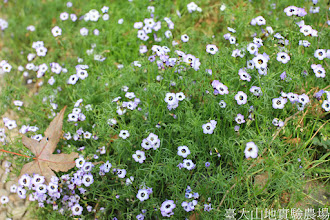 Photo: 拍攝地點: 梅峰-溫帶花卉區 拍攝植物: 三色吉利 拍攝日期: 2014_12_17_FY