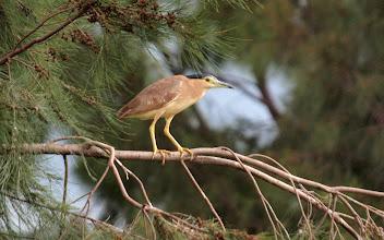 Photo: Nankeen Night-heron
