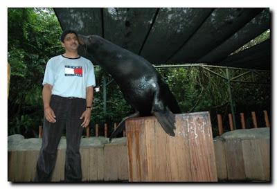California seal Singapore zoo