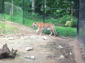 Photo: tiger