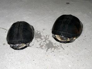 Photo: bébés tortues