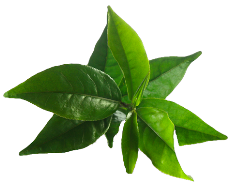 Tea tree -  ekologisk eterisk olja