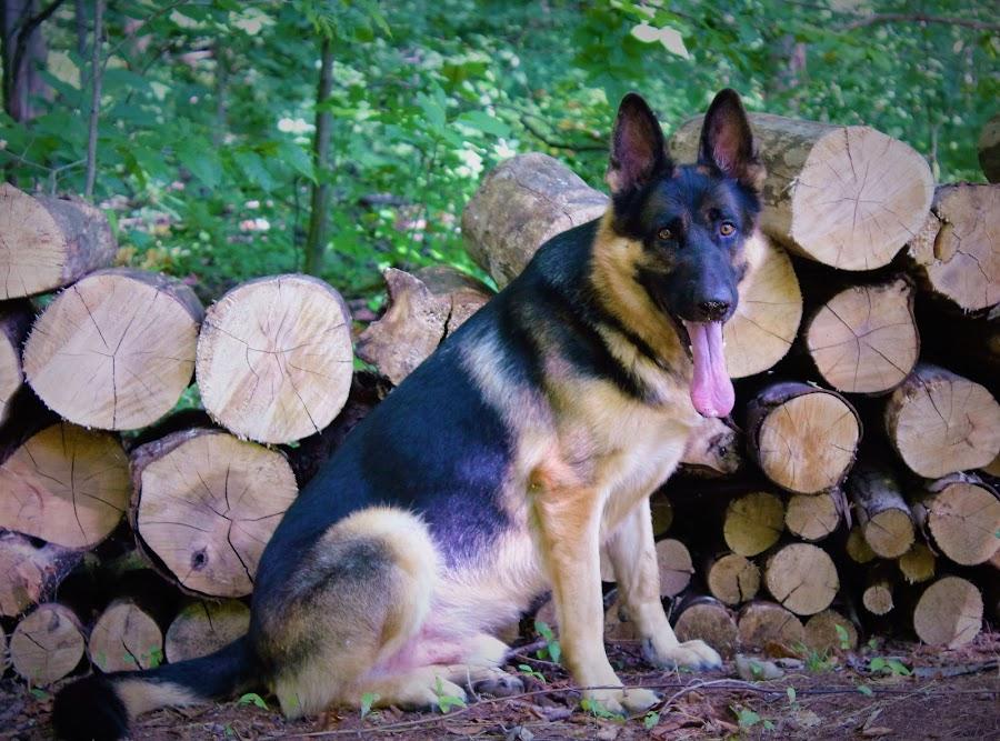 German Shepherd by Lauren Ann - Animals - Dogs Portraits ( german shepherd, dog, portrait,  )