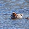 Eurasian Widgeon