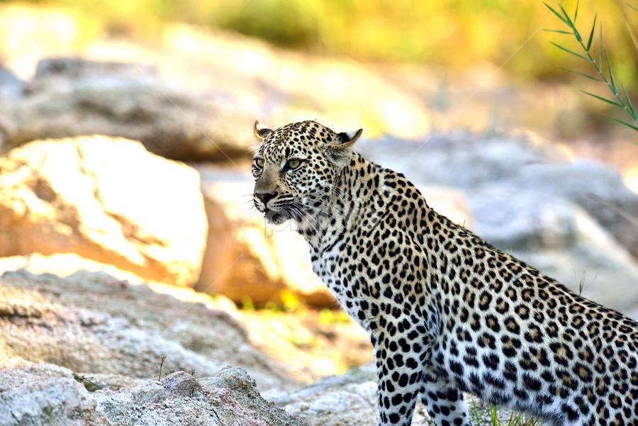 Leopard by Sheri Lim - Animals Lions, Tigers & Big Cats ( saubi sands, spots, cat, africa, cub, leopard, river )