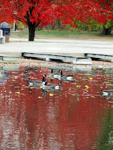 Photo: Canadian geese swimming in the red reflection of an autumn tree at Eastwood Park in Dayton, Ohio.