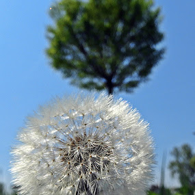 dandelion by Bojan Dobrovodski - Nature Up Close Other plants ( dandelion tree sky blue spring )