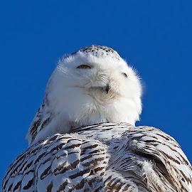 Watchful by Bill Diller - Animals Birds ( raptor, birds of prey, michigan, owl, nature, bird of prey, snowy owl, bird, state wildlife area, fish point wildlife area, wildlife )