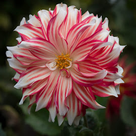 Red and White Stripes by Janet Marsh - Flowers Single Flower ( golden gate park, dahlia, red and white )